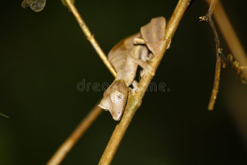 Geco Folha-atado satânico (phantasticus de Uroplatus) em Ranomafana fotos de stock