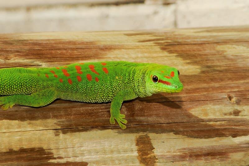 Geco gigante selvagem do dia de Madagáscar imagem de stock royalty free