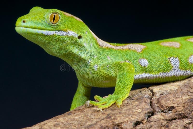 Geco/grayii verdes de Naultinus imagens de stock