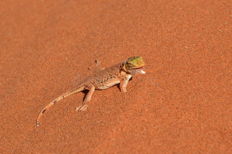 Geco nel deserto di Namib fotografia stock
