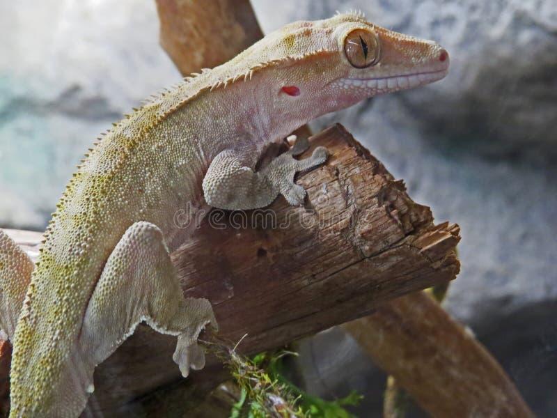 Geco no jardim zoológico, olhando fixamente o espectador imagens de stock royalty free