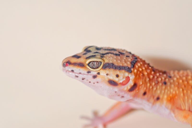 Geco pigmentado laranja do leopardo fotografia de stock