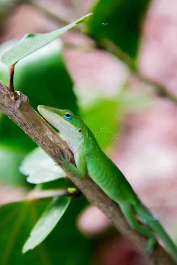Geco verde camouflauged em um ramo verde fotografia de stock