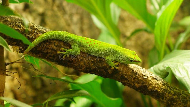 Geco verde de Madagáscar-dia - madagascariensis de Phelsuma imagens de stock