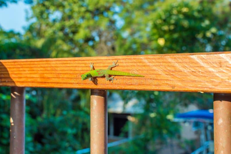 Geco verde em uns trilhos de madeira fotografia de stock