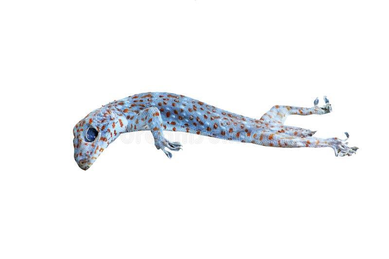 Gecos asiáticos tropicais, animal da carcaça isolado no fundo branco fotos de stock royalty free