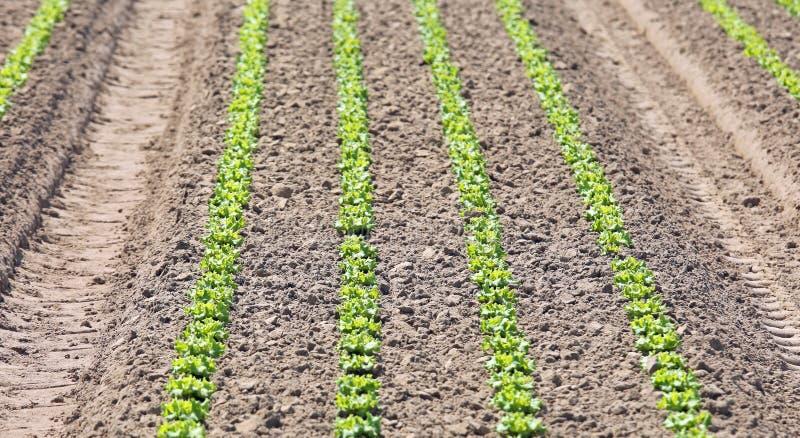 gecultiveerd gebied van verse groene sla met de grond wordt gemaakt die met stock afbeeldingen