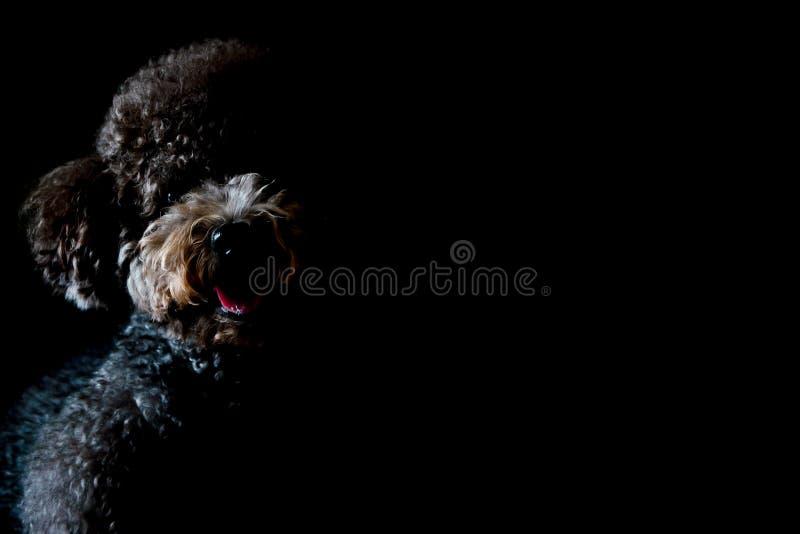 Gedeeltelijk portret van aanbiddelijke zwarte Toy Poodle-hond royalty-vrije stock afbeeldingen