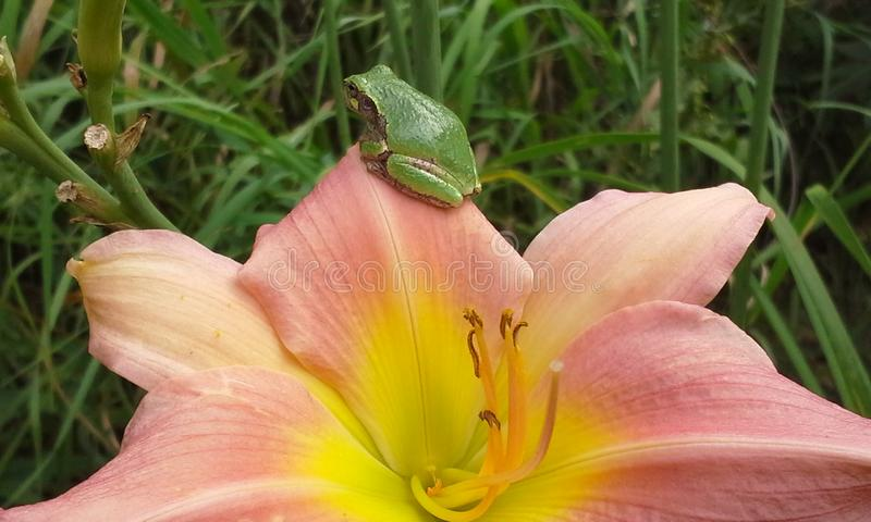 Gedeeltelijke Roze Lelie en Treefrog royalty-vrije stock afbeelding