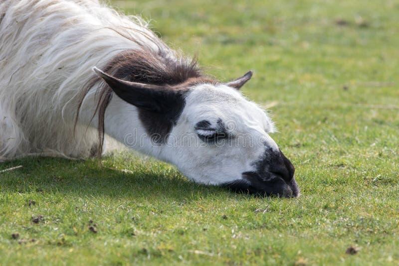Gedeprimeerde lama Grappig dierlijk beeld van het droevige kijken slaperig l royalty-vrije stock fotografie