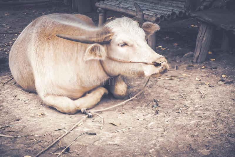 Gedetailleerd close-up van een witte buffel De mooie Buffel is achterhoorn die met kabel op grond wordt gebonden royalty-vrije stock foto's