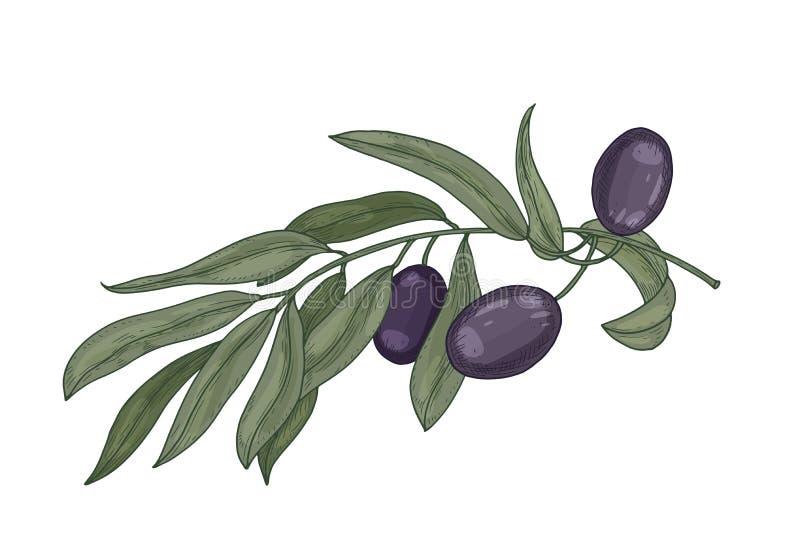 Gedetailleerde botanische tekening van olijfboomtak met bladeren en zwarte vruchten of steenvruchten die op witte achtergrond wor vector illustratie
