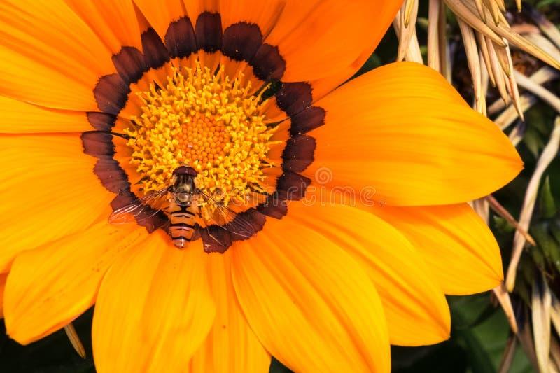 Gedetailleerde hoogste mening van een bij op een grote oranjegele Gazania of Schatbloem in volledige bloei stock afbeelding