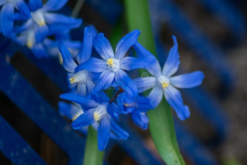 Gedetailleerde macro dichte omhooggaand van blauwe scillabloemen royalty-vrije stock afbeeldingen