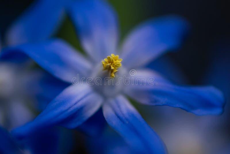 Gedetailleerde macro dichte omhooggaand van blauwe scillabloemen royalty-vrije stock afbeelding
