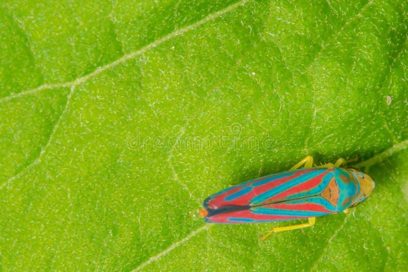 Gedetailleerde macro van suikergoed-gestreepte leafhopper op groen blad - de levendige blauwe en rode strepen op insect met een b stock afbeeldingen