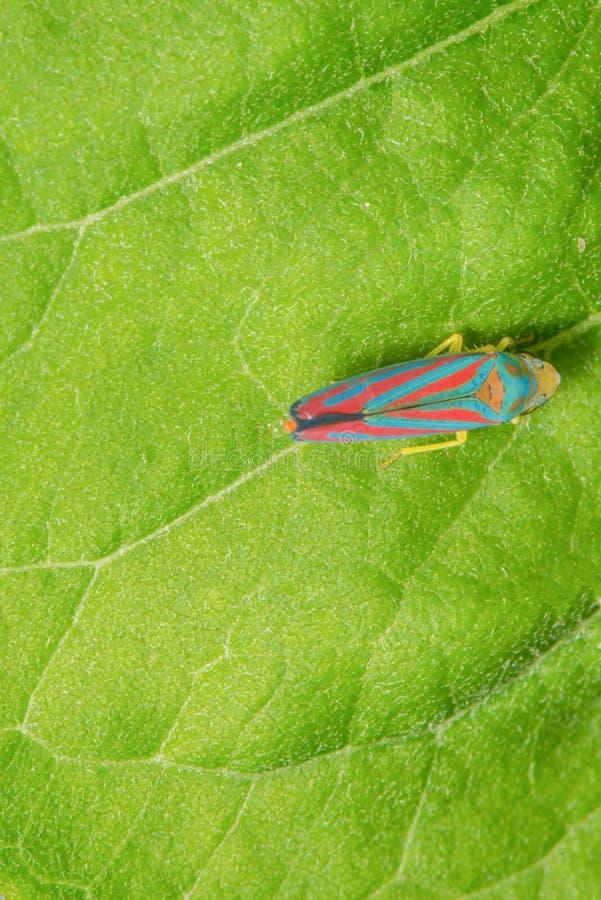 Gedetailleerde macro van suikergoed-gestreepte leafhopper op groen blad - de levendige blauwe en rode strepen op insect met een b royalty-vrije stock foto's