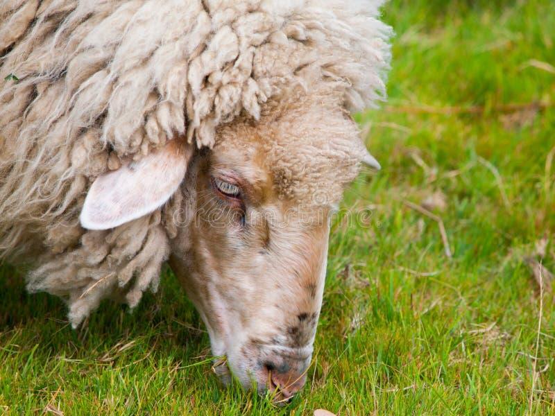 Gedetailleerde mening van het weiden van schapen stock foto's