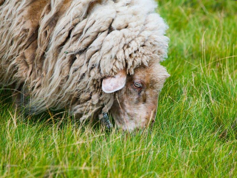 Gedetailleerde mening van het weiden van schapen royalty-vrije stock foto