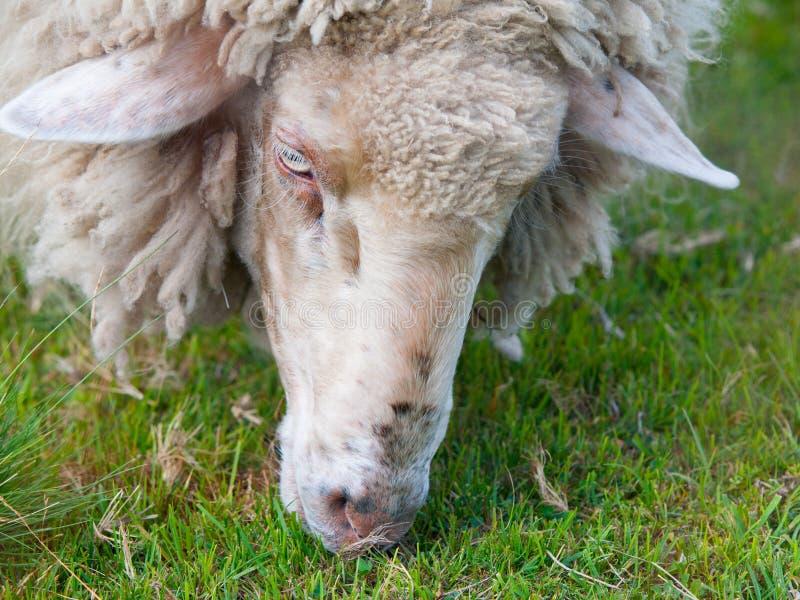 Gedetailleerde mening van het weiden van schapen stock fotografie