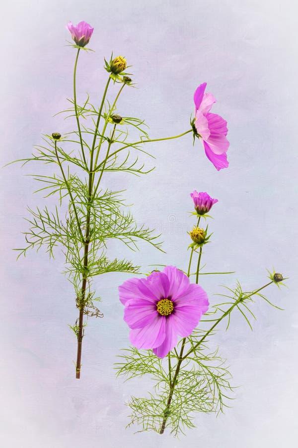 Gedetailleerde mening van roze Kosmosbloemen royalty-vrije stock afbeeldingen