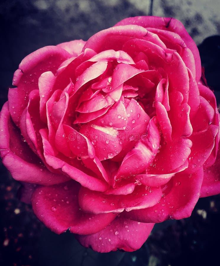 Gedetailleerde roze nam toe royalty-vrije stock afbeelding