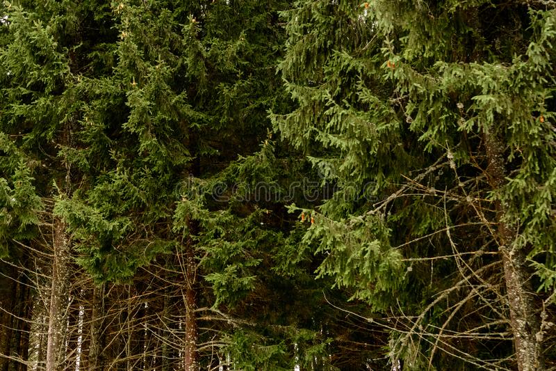 Gedetailleerde textuur van naaldboombos op heuvel dicht omhoog, Achtergrond van boombovenkanten op berghelling royalty-vrije stock afbeelding