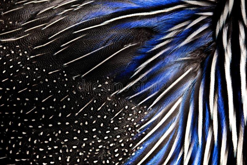 Gedetailleerde textuur van witte en blauwe fazantveren Achtergrond en textuur stock foto's
