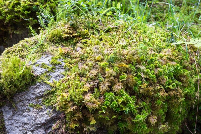 Gedetailleerde vangst van mos het groeien op een rots in een bos stock fotografie