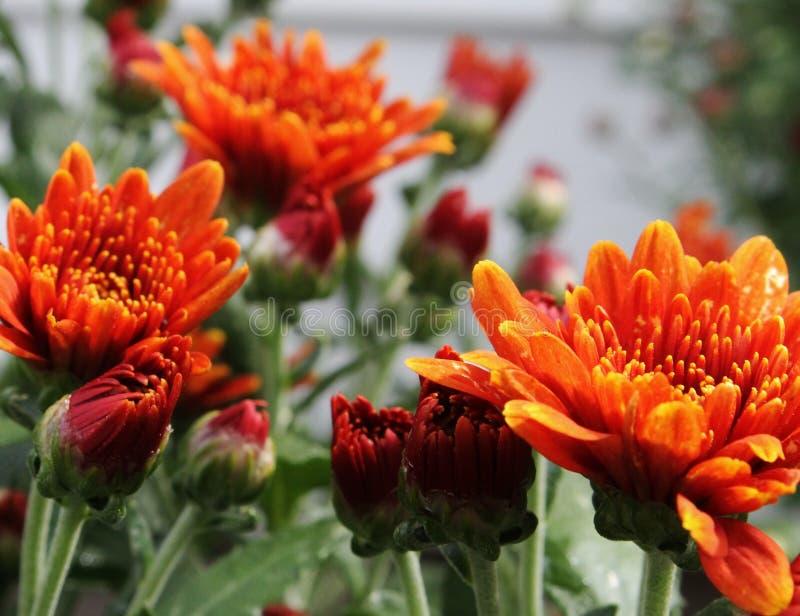 Gedrängte orange Mama lizenzfreie stockfotografie