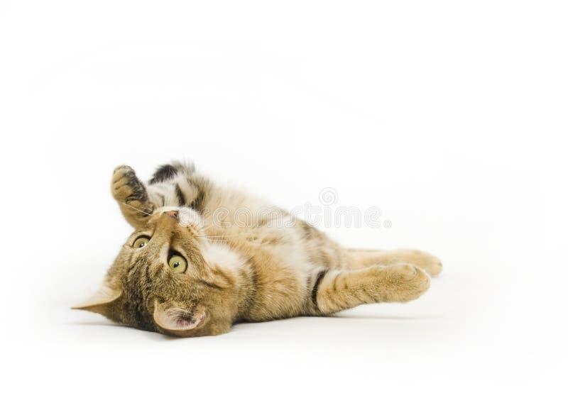 Gedreht Kätzchen stockbilder