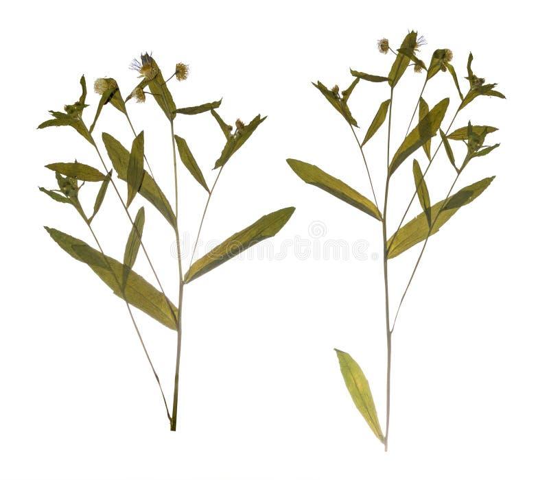 Gedrukte Droge het gebiedsbloem van de taklente Herbarium van wilde bloemen royalty-vrije stock foto
