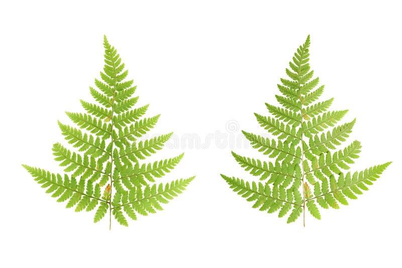 Gedrukte en droge bladeren van varens Bladeren op witte rug worden geïsoleerd die royalty-vrije stock foto's