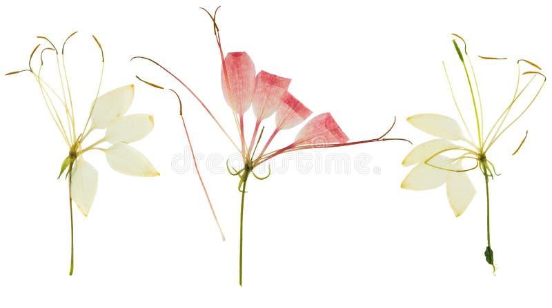 Gedrukte en droge bloem cleome of geïsoleerde spinbloem, royalty-vrije stock foto