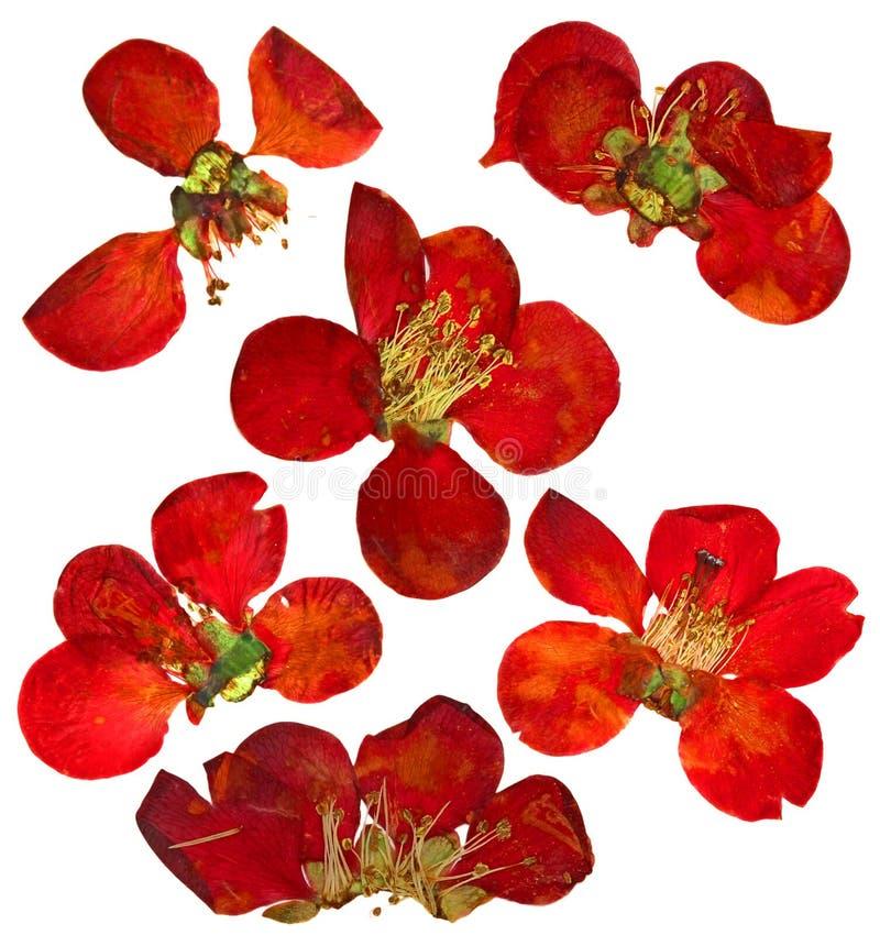 Gedrukte en droge bloemen en bloemblaadje van kweepeer royalty-vrije stock afbeelding
