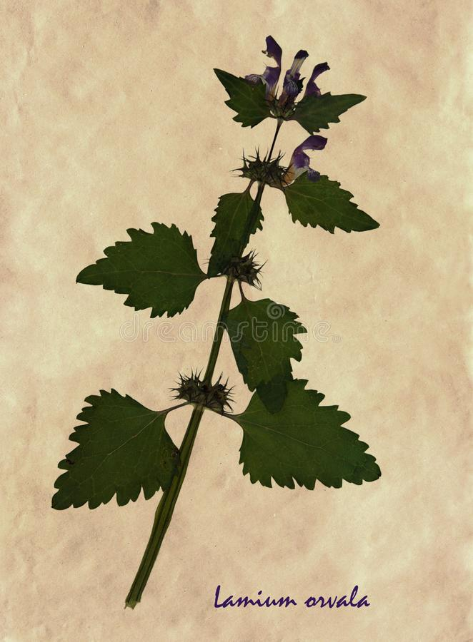 Gedrukte en droge bloemen van balsem-leaved aartsengel royalty-vrije stock foto