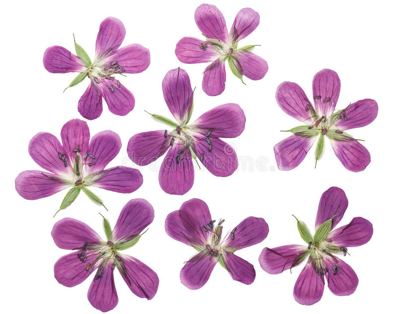Gedrukte en droge bloemengeranium pratense Geïsoleerde royalty-vrije stock foto's