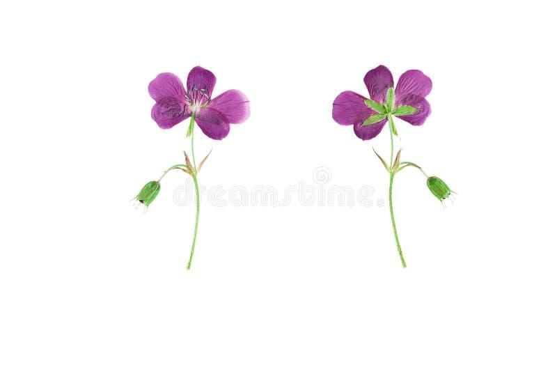 Gedrukte en Droge bloemgeranium pratense geïsoleerd op witte B royalty-vrije stock foto's
