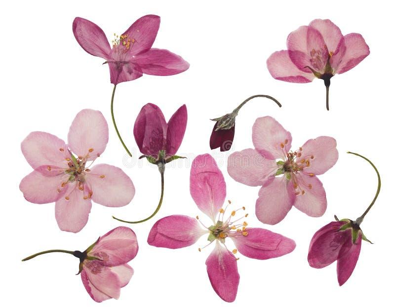 Gedrukte en droge die bloemen van appel, op wit worden geïsoleerd royalty-vrije stock afbeeldingen