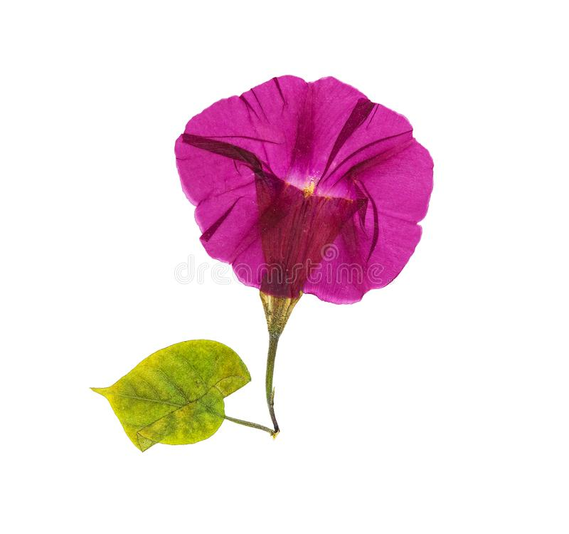 Gedrukte en droge geïsoleerde bloem ochtend-glorie of Ipomoea, royalty-vrije stock afbeeldingen