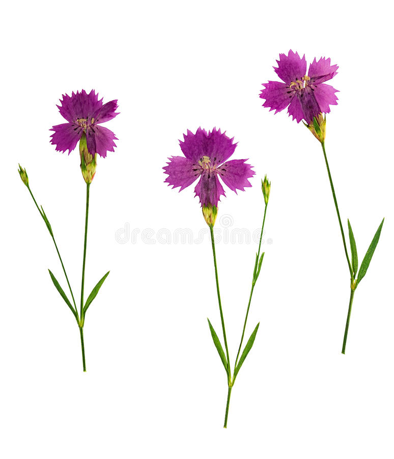 Gedrukte en droge geïsoleerde bloemenanjer, royalty-vrije stock fotografie