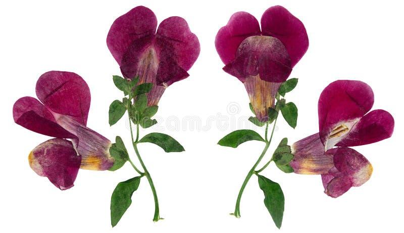 Gedrukte en droge geïsoleerde bloemleeuwebekken of leeuwebek, stock afbeelding