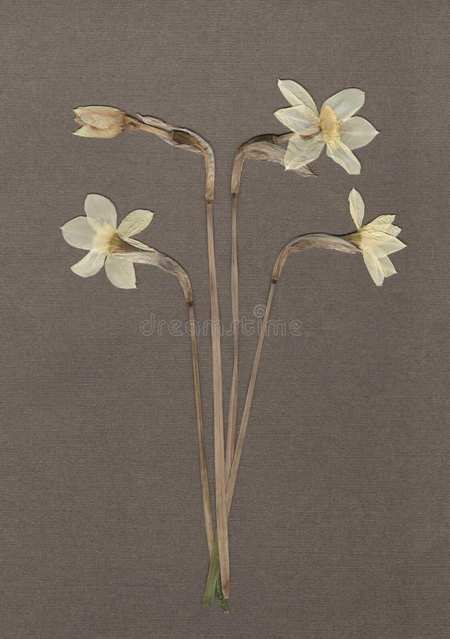 Gedrukte en droge gele narcissen Witte narcissen Uitstekende herbariumachtergrond op geweven grijs document Afgetast beeld royalty-vrije stock afbeeldingen