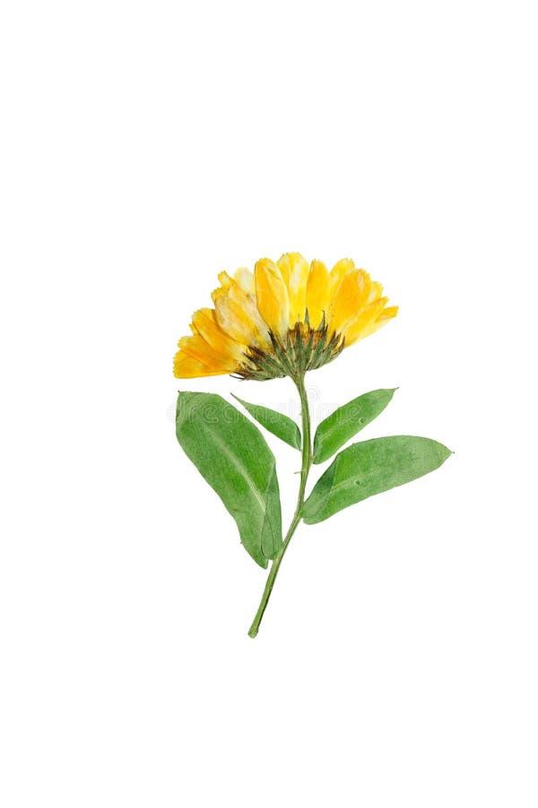 Gedrukte en droge gevoelige bloem van calendulaofficinalis stock fotografie