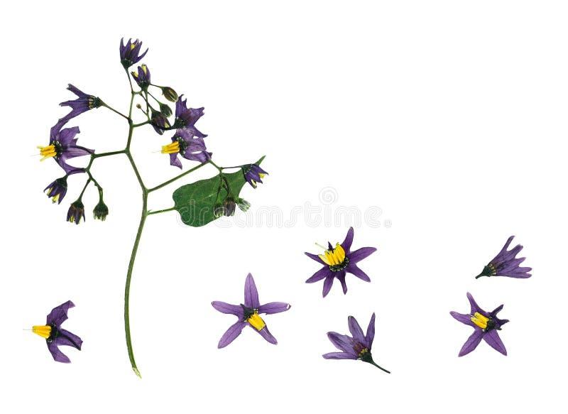 Gedrukte en droge gevoelige bloem violette bosrijke nightshade stock afbeelding