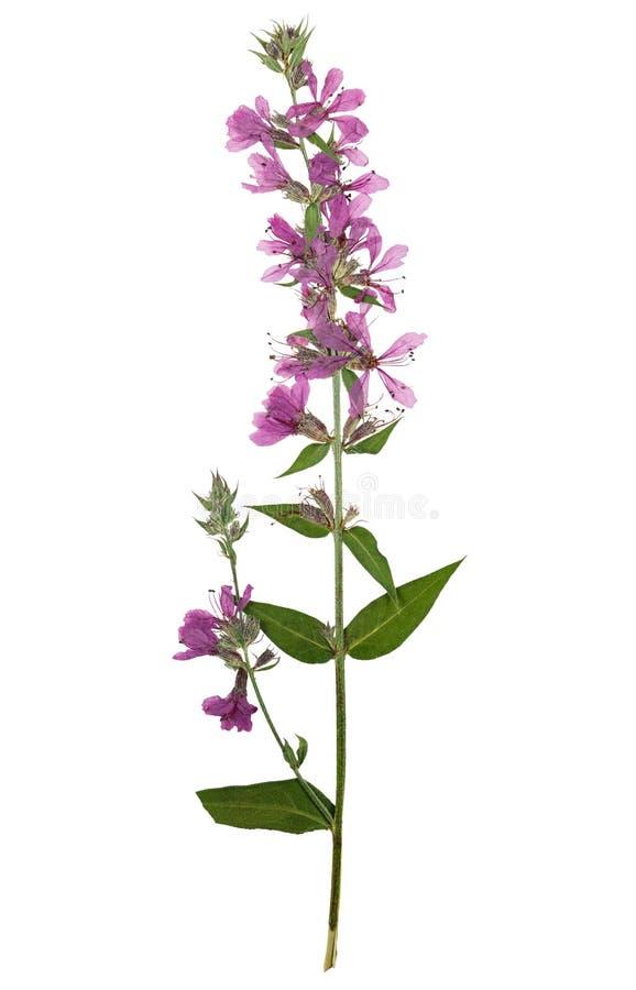 Gedrukte en droge heldere bloem purpere kattestaart stock afbeelding