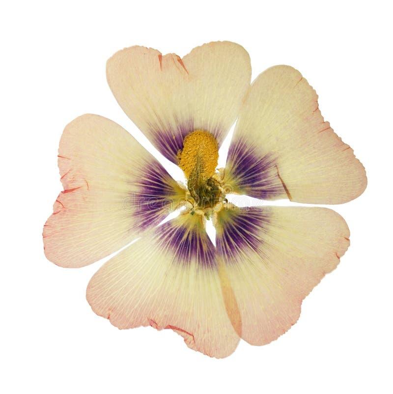 Gedrukte en droge roze bloemmalve geïsoleerd malva, stock afbeeldingen
