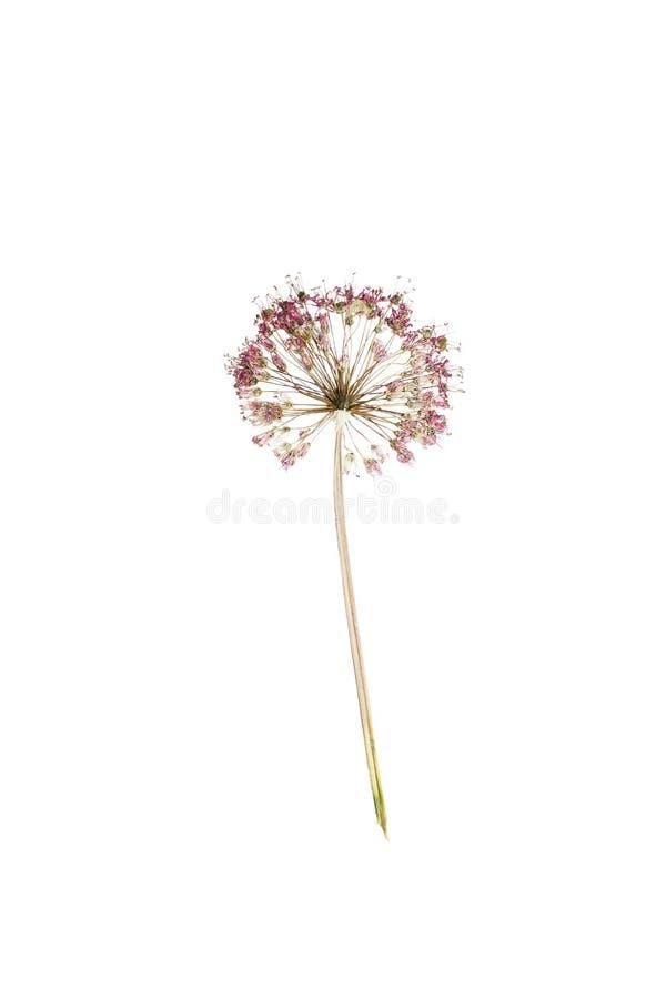Gedrukte en droge schoenoprasum of het bieslook van het bloemallium royalty-vrije stock fotografie
