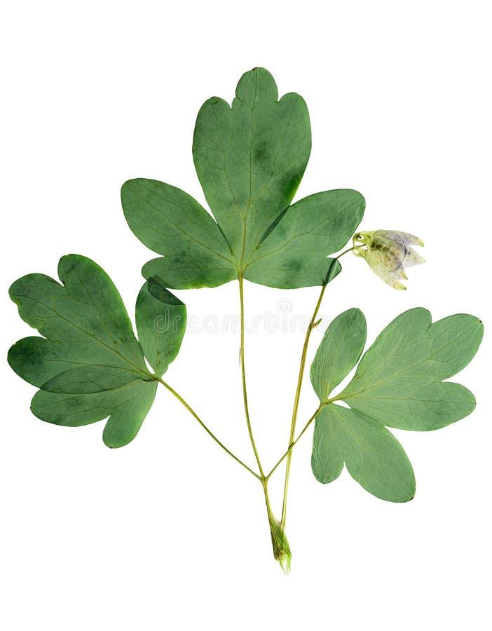 Gedrukte en droge vulgaris bloemaquilegia, geïsoleerd op wit royalty-vrije stock afbeelding