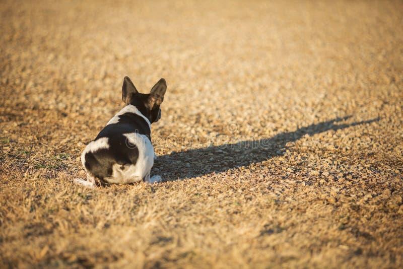 Geduckter Ratten-Terrier-Hund stockfotografie